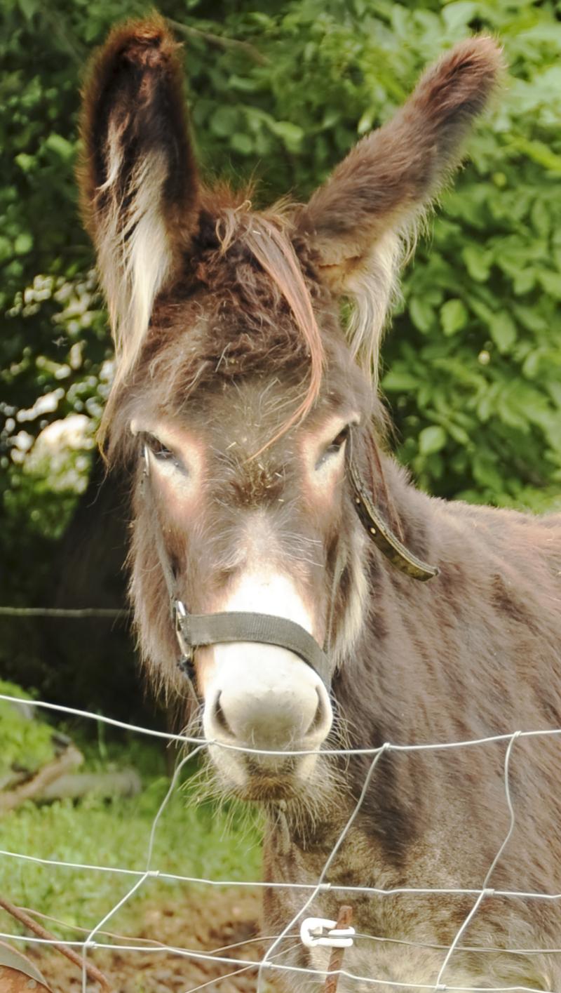 Donkey potrait