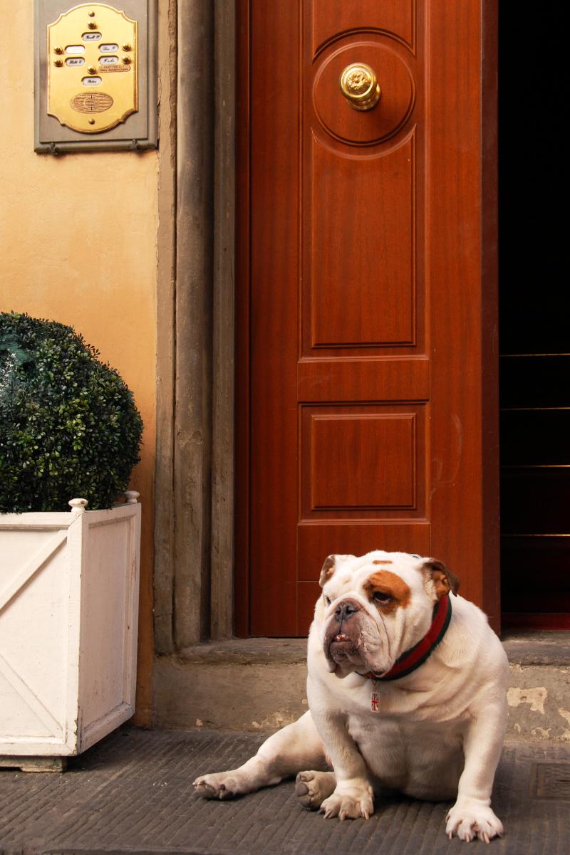 Bulldog waiting for a friend