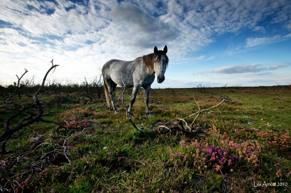 New Forest Pony roaming  the heathlands