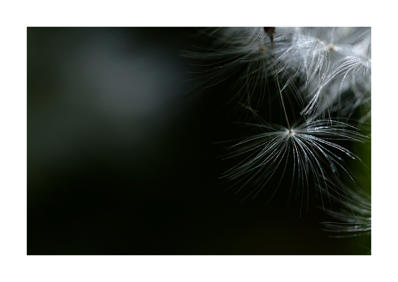 light on a dandelion