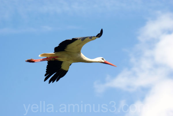 Another Stork in flight