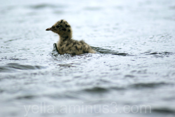 Black-headed Gull youngster