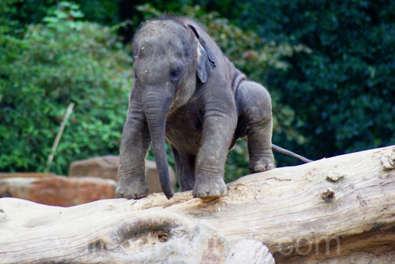 Little elephant climbing a giant piece of wood