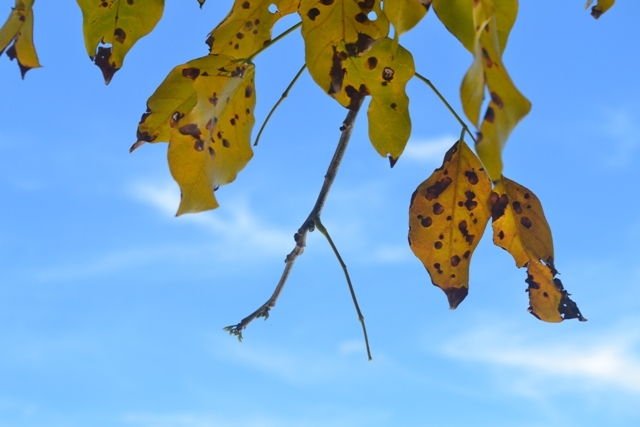 The Yellow Leaves in the Blue Sky