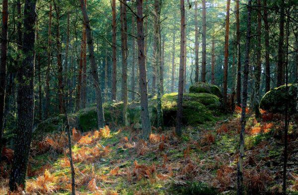 les sylvestres et le rayon vert