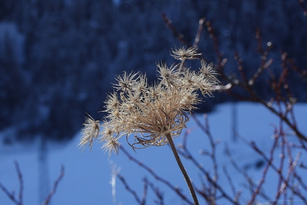 fleur de janvier