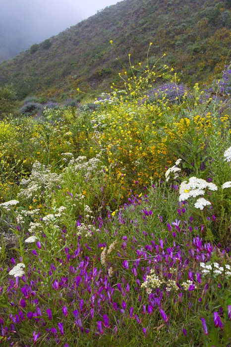wildflower  garrapata state park, california