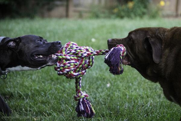 dog playing tug a war