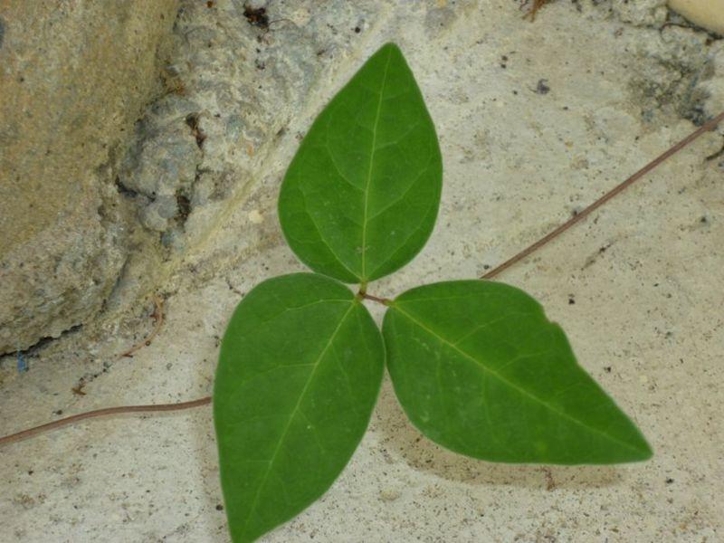 triple leaf