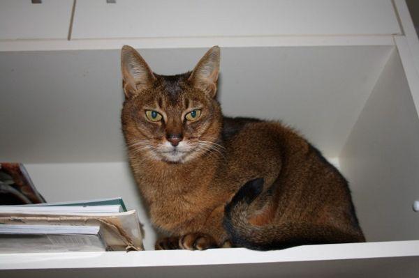 cat on the shelf