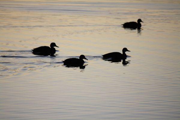 4 ducks on the lake