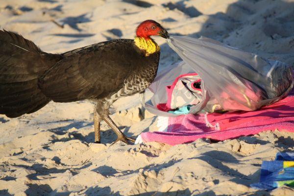 bush turkey on noosa beach