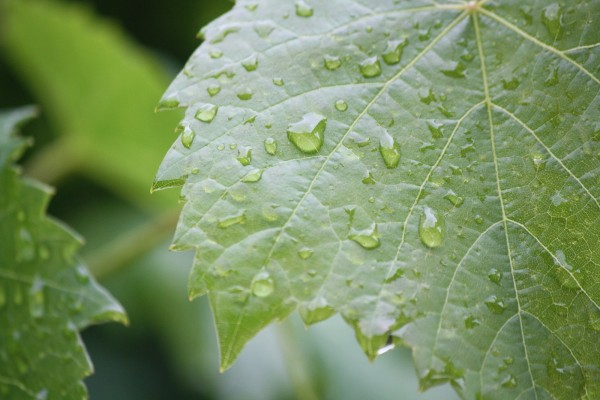 leaves after rain