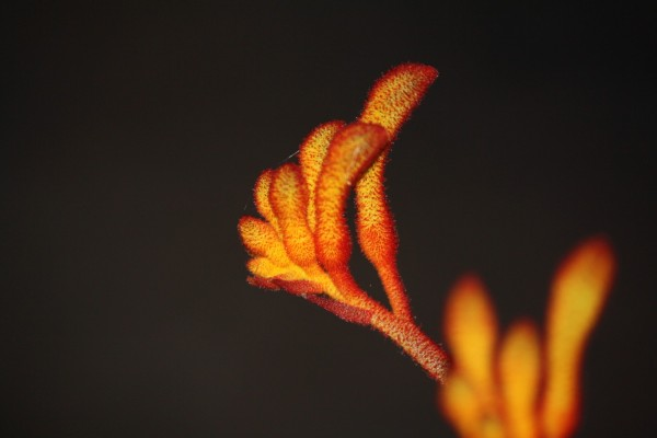 kangaroo paw plant
