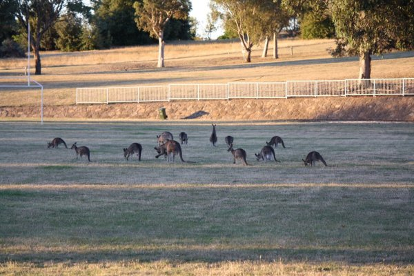 kangaroos on oval