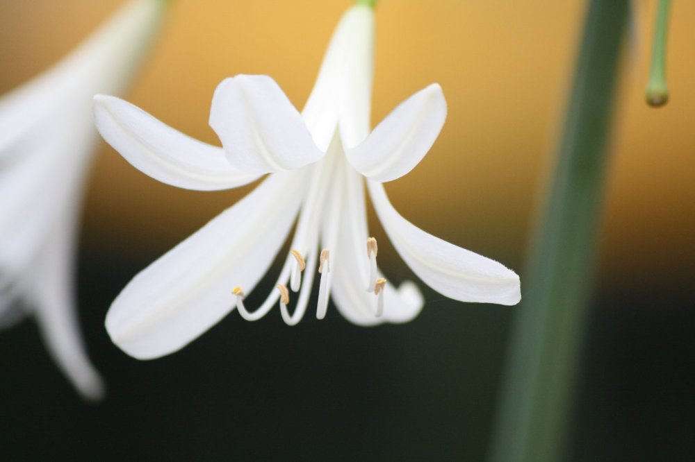white bloom