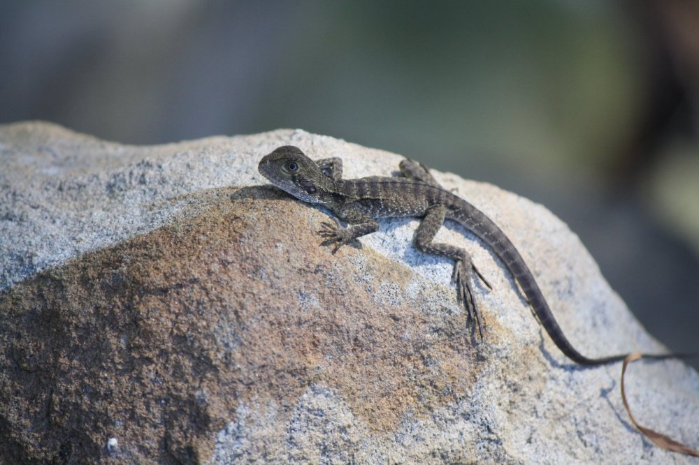 lizard on rock
