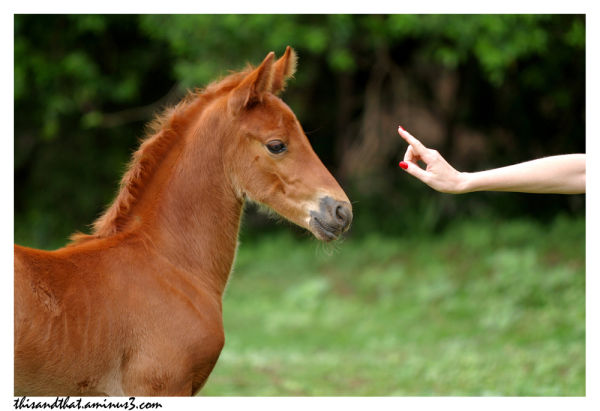 Foal concentrating on person.