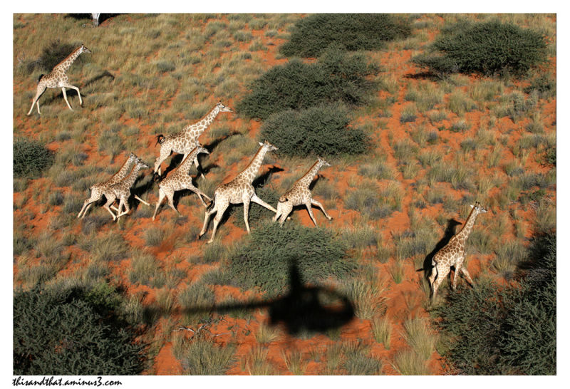 Giraffe viewed from a helicopter.