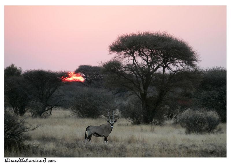 An Oryx watching us at sunset.