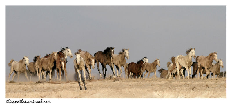 A herd of horses galloping on the dry veldt.