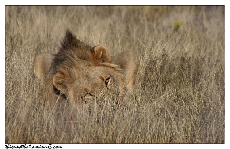 A lion in the grass.