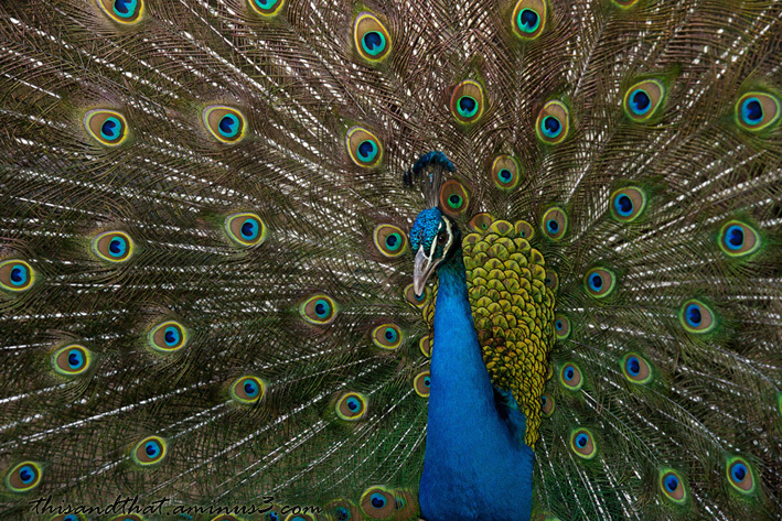 A peacock with vibrant colour.
