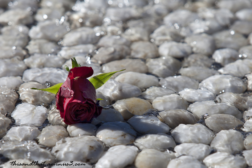 A red rose on pebbles