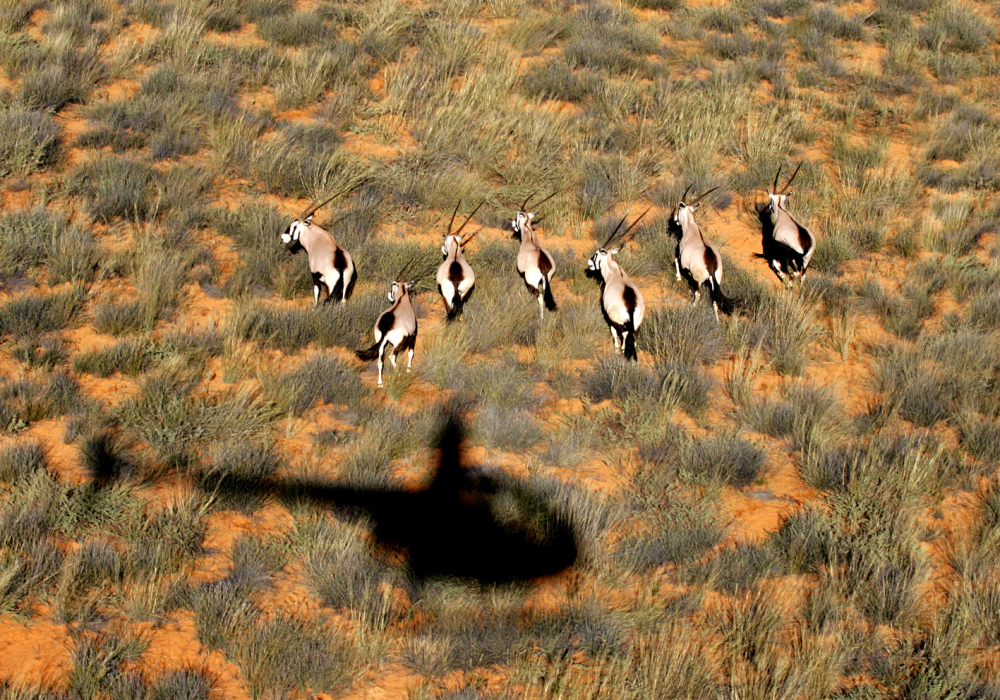 A view of Gemsbok from the air.