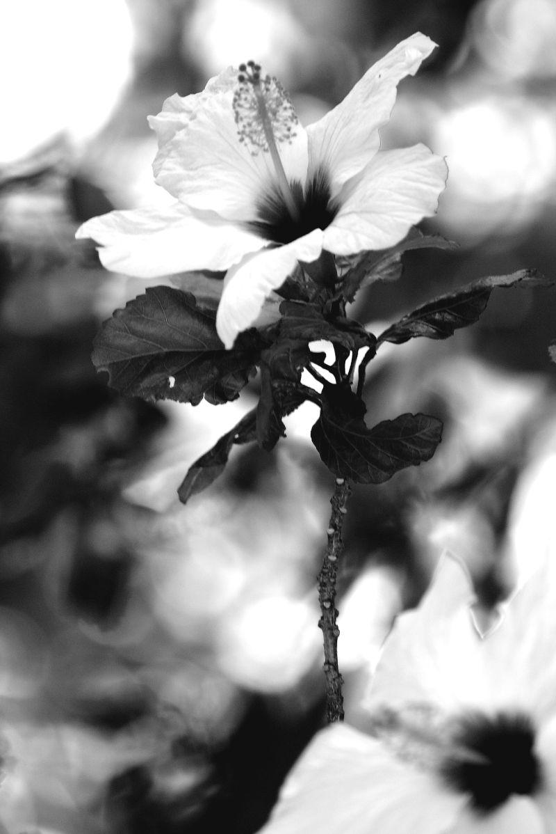 Flower Hibiscus stand black white