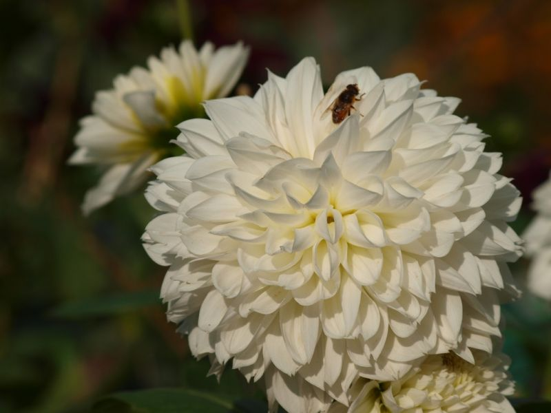 fleur villageoise
