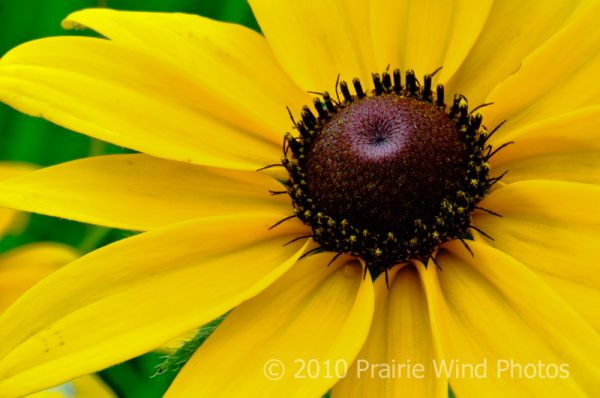 Black-Eye Susan in tallgrass prairie
