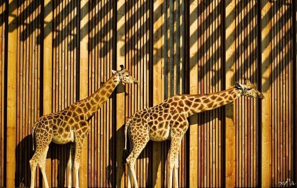 Girafe de la plaine africaine Parc de la Tête d'Or
