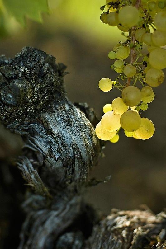 Grappes de raisin de Monbazillac