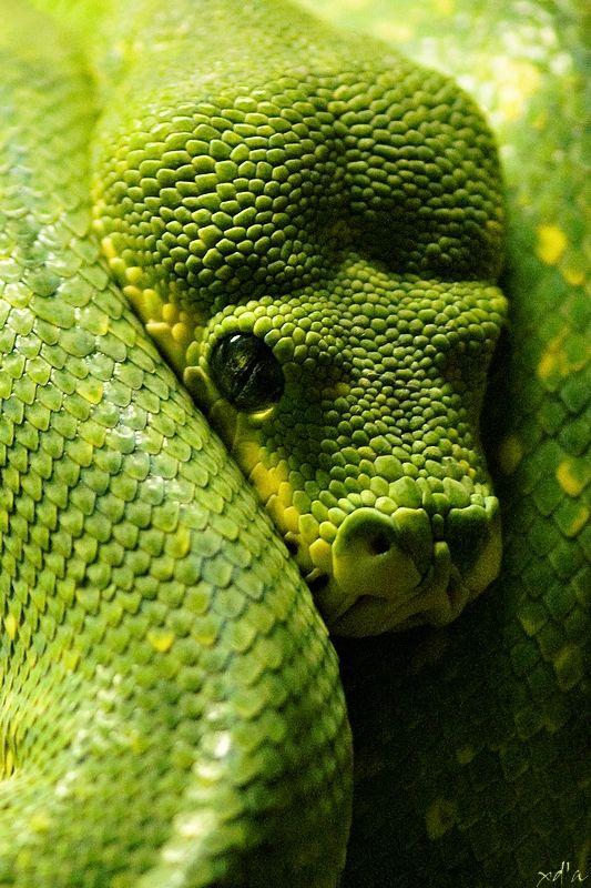 Python vert Safari parc Peaugres