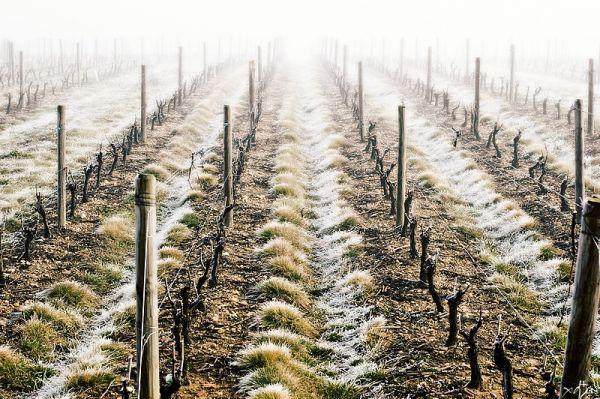 Coup de froid sur les vignes