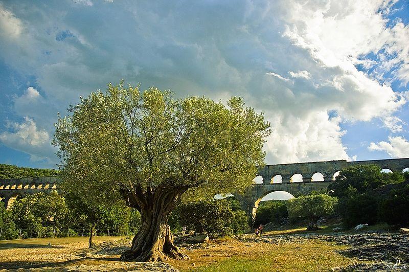 Le vieil olivier