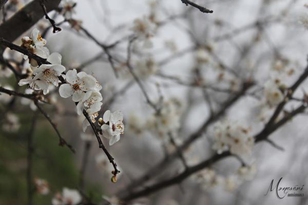 blossom, شکوفه