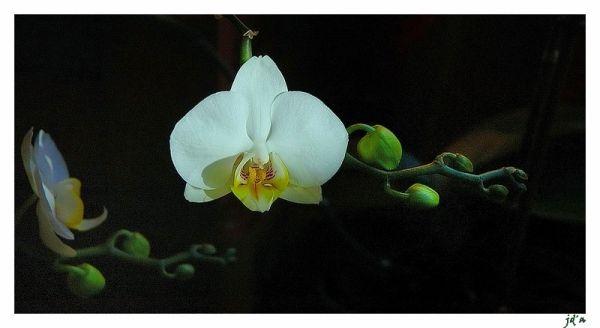 une orchidée blanche