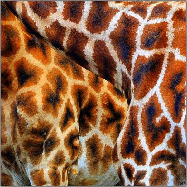 Un closeup de la robe de deux girafes