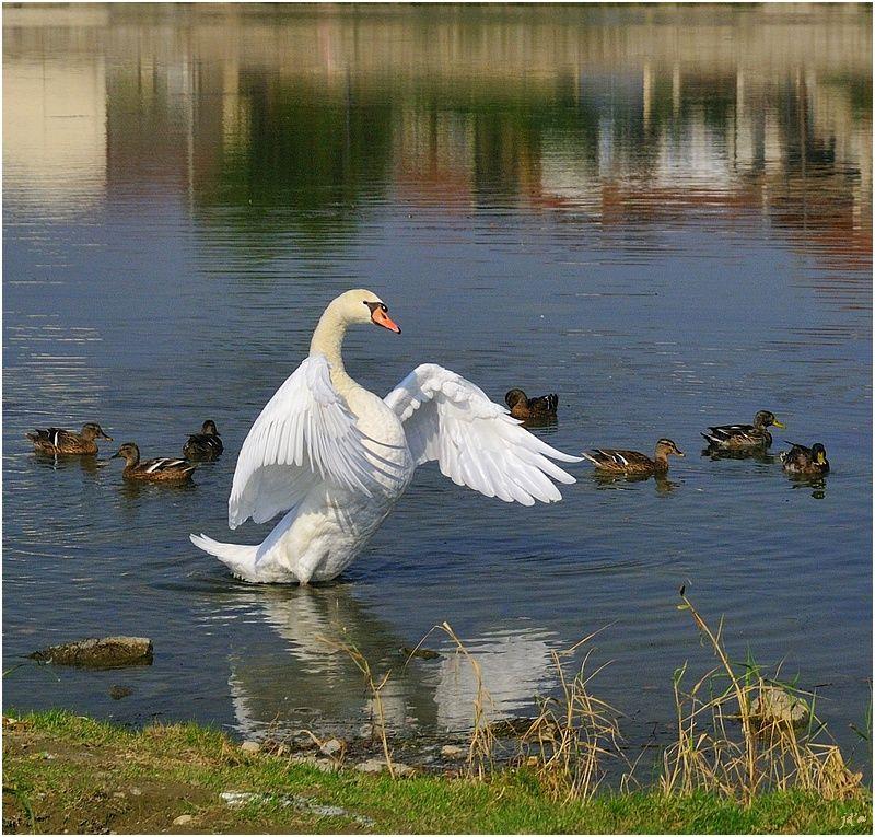 un cygne parade devant des canards
