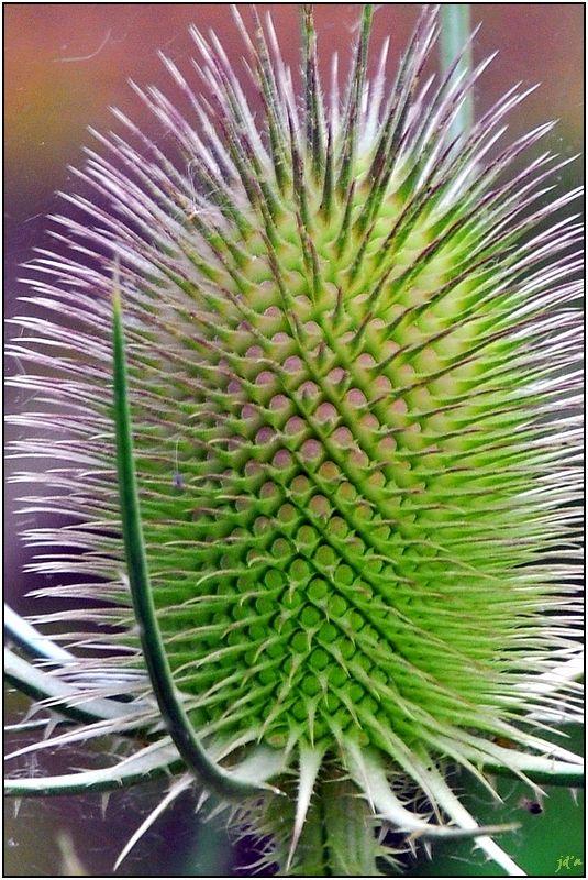 la fleur cardère commune