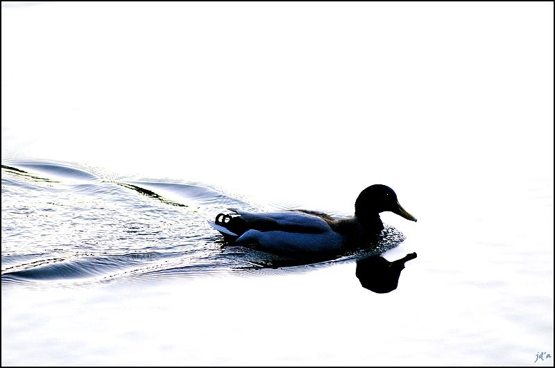 Un canard se détache sur l