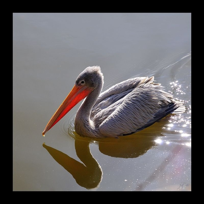 Un pélican nage