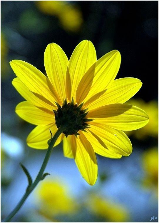 Une fleur jaune qui laisse passer la lumière