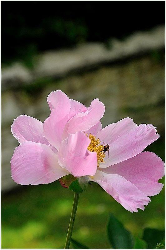 Un insecte sur une fleur rose