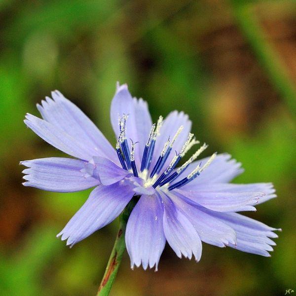 Une fleur bleue en macro