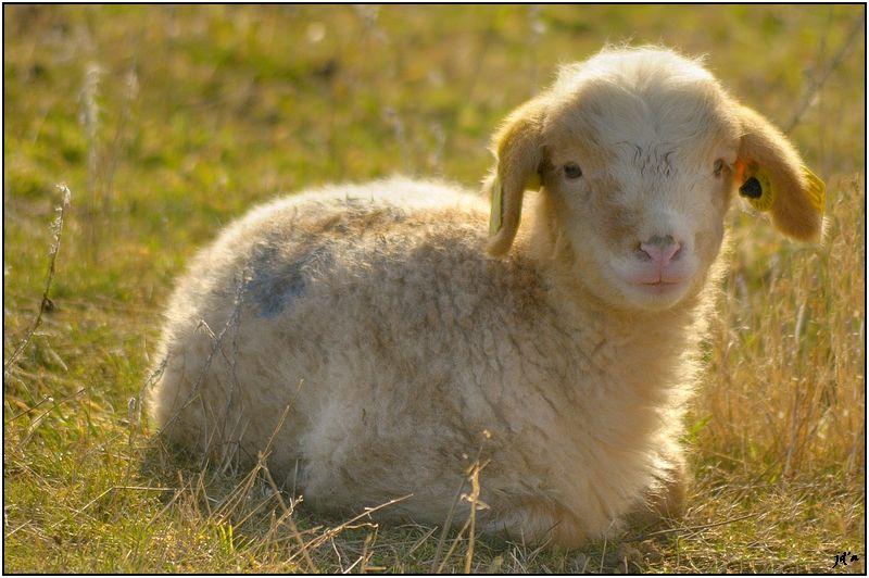 Un agneau dans la lumière