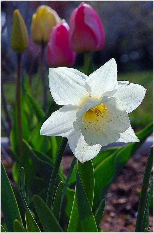Une fleur de narcisse translucide
