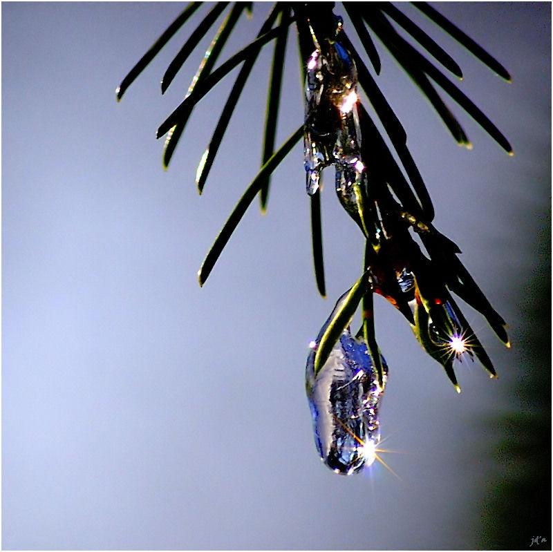 des perles de glace sur des feuilles d'if